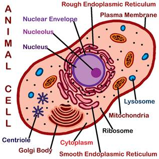 Image result for simple cell nucleus mitochondria