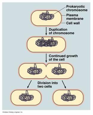 Asexual reproduction bacteria called impetigo