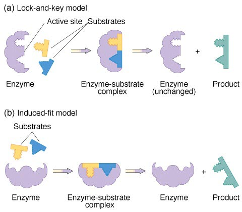 an explanation of enzymes substrates active sites enzyme substrate complex and the enzyme inhibitors Enzyme kinetics is the study of the chemical reactions that are catalysed by enzymes in enzyme kinetics, the reaction rate is measured and the effects of varying the conditions of the reaction are investigated.