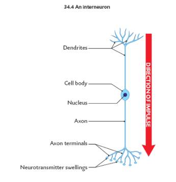 The nervous system sensory neuron interneuron motor neuron ccuart Images