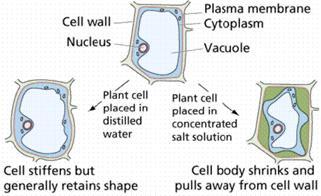 osmosis plant - Osmosis, Difusión y Saturación