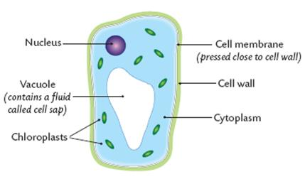 the vacuole contains cell sap  this is made of sugars, salts, and pigments   the chloroplasts contain chlorophyll  this is where photosynthesis occurs  within
