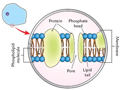 Cell structure learn biology cellsthe plasma membrane ccuart Images