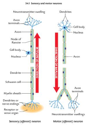 The nervous system sensory neuron or afferent neuron moving away from a central organ or point relays messages from receptors to the brain or spinal cord ccuart Gallery
