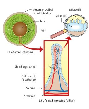 Intestinal Glands Are Located Between The Villi These Produce Numerous Enzymes Which Collectively Called Juices