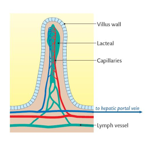 (see diagram below) from the lacteal the fats are transported by the lymph  and carried to the bloodstream at the subclavian veins near the base of the  neck